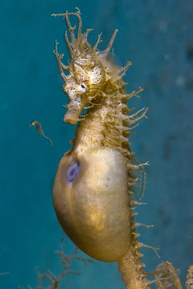 underwater-photo-contest-indonesia-seahorse 29251 600x450